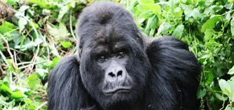 Rhino Africa gorilla Wallpaper