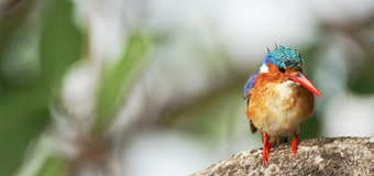 Rhino Africa kingfisher Wallpaper