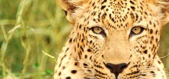 Fondo de pantalla de Rhino Africa: leopardo-2