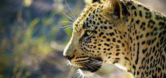 Papel de parede Leopardo da Rhino Africa